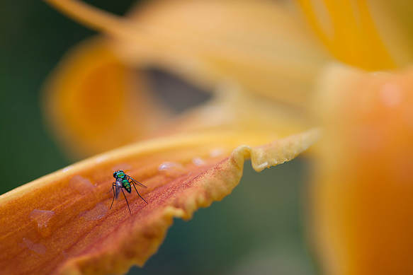 Macro photography of a orange and yellow flower with a green insect on it, taken at Missouri Botanical Garden in St. Louis, Missouri by Las Vegas photographer, Bryan Kurz